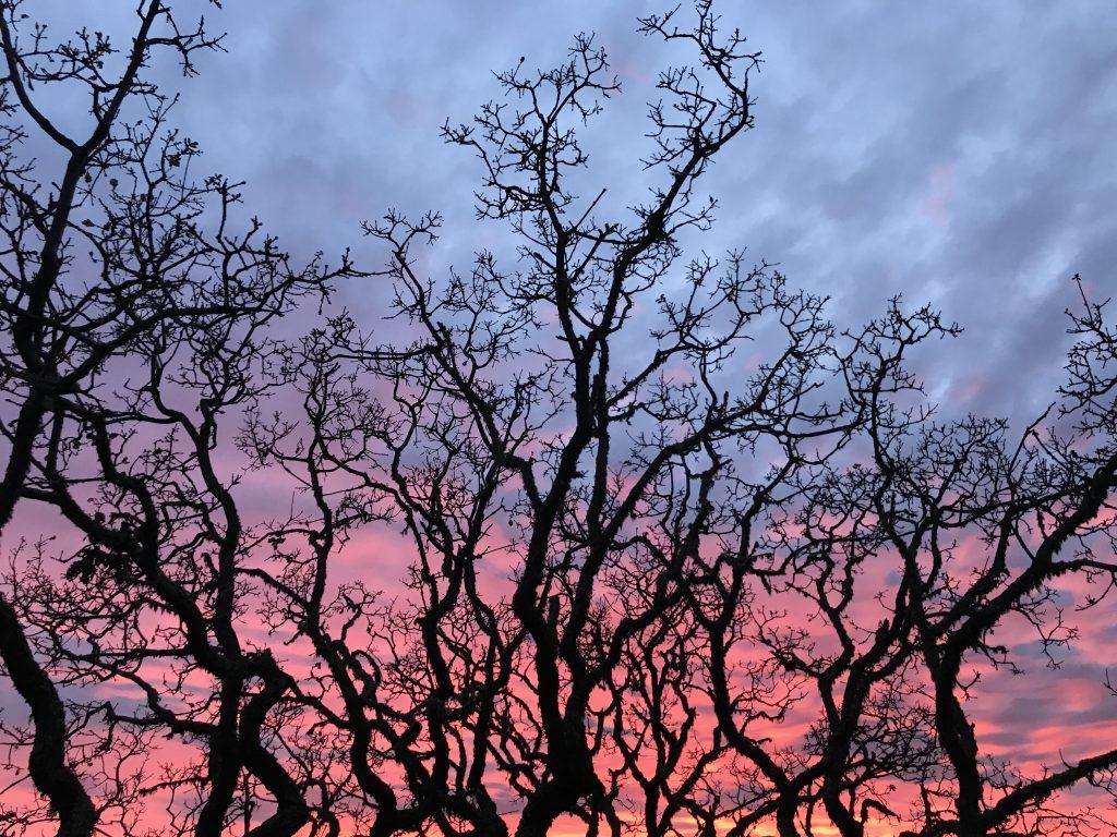 Carmel Valley Oak trees-Carmel Valley Oaks at sunset